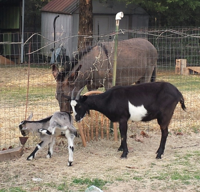firstgoatmeeting