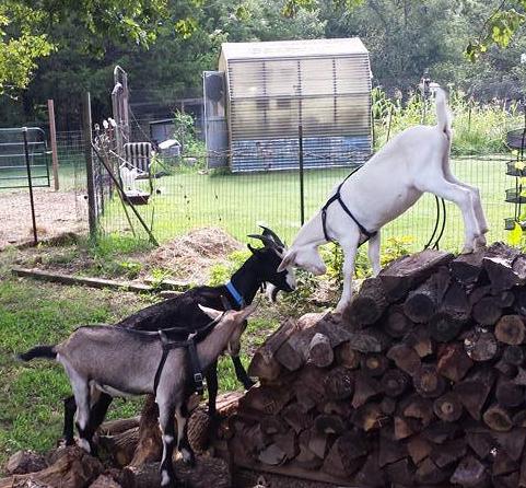 goatsonwoodpile
