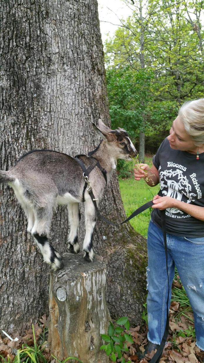 Buckminster Baby Goat