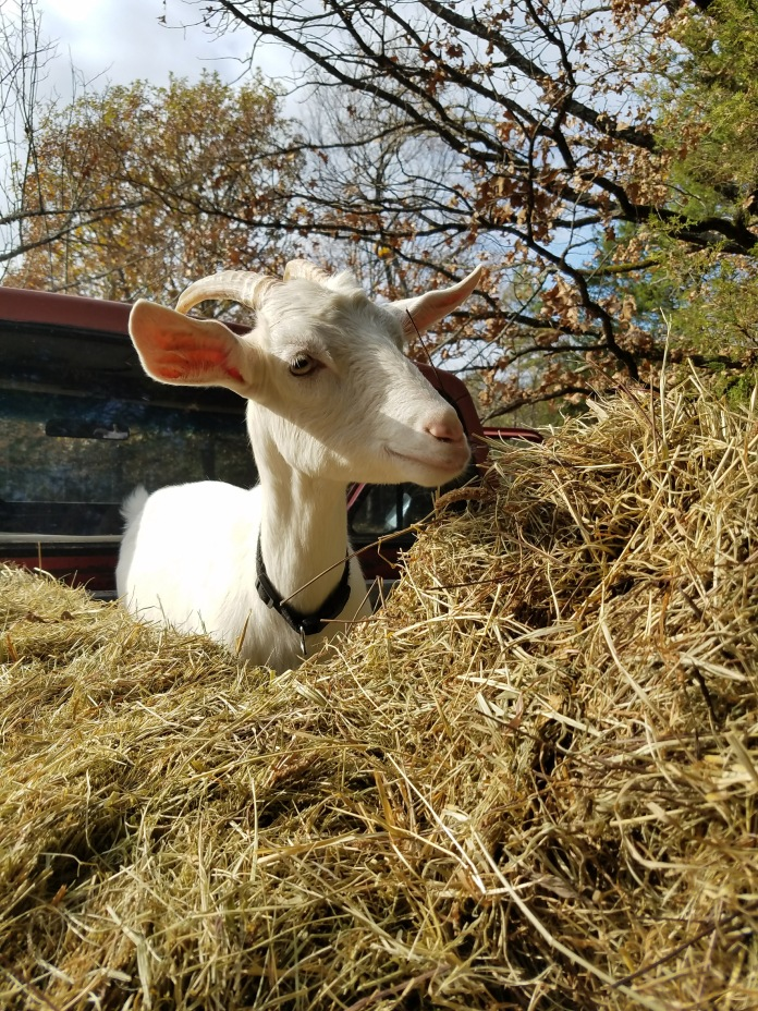 Baby goat in 79 Ford F250 truck